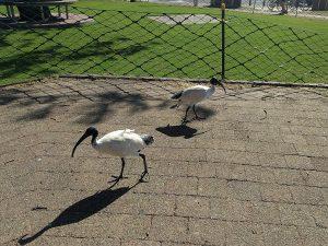ibis 1024x768
